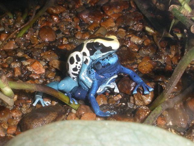 dart-frog-she-3
