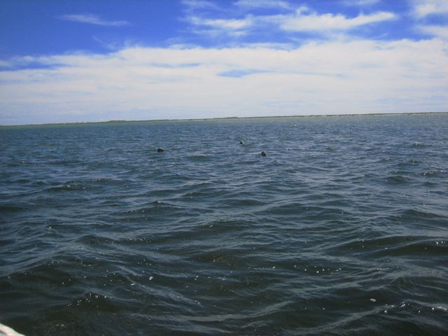 seals in the nantucket sound