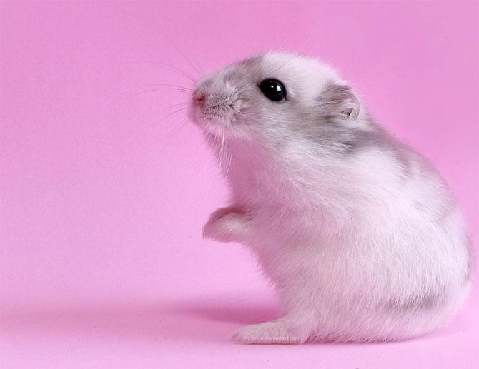 hamster (12)